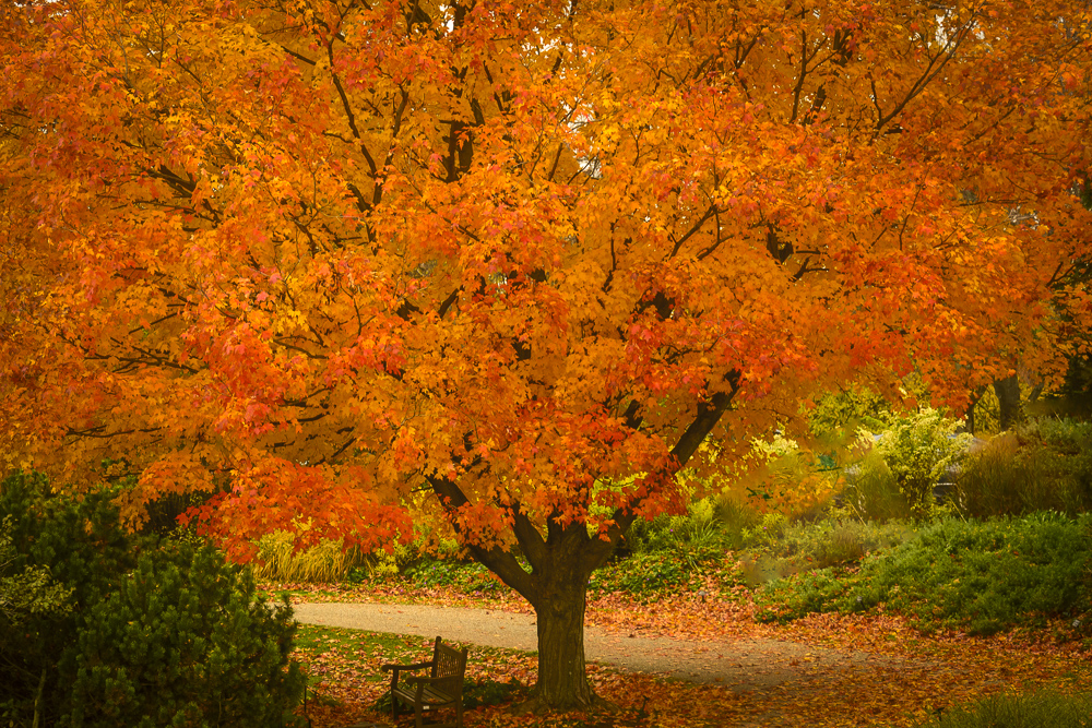 I have waited to see this maple in full color!