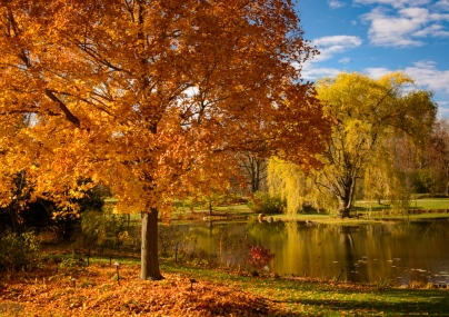 Sugar maple and golden willow tree