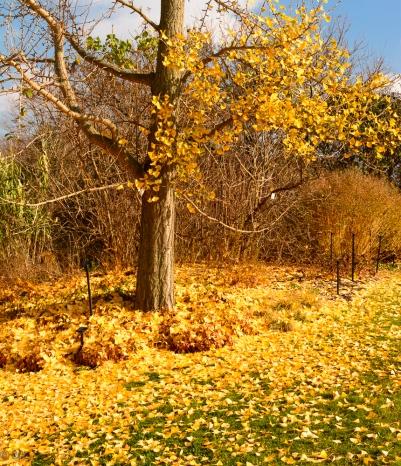 Carpet of gingko leaves