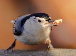 The white breasted nuthatch favored a LARGE peanut.