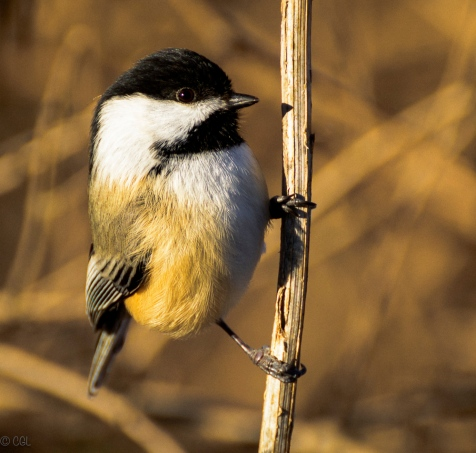 When colder weather came, the chickadees came looking for handouts.