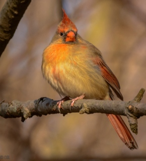 The lady cardinal showed off her colors.