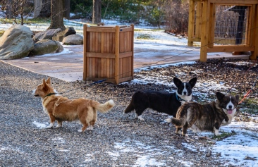 Three Welsh corgis out for their daily walk