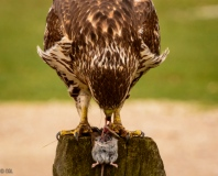 ...And the hawk captured a field mouse for his lunch.