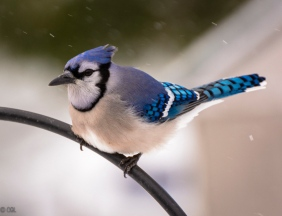 Blue jay (Handsome, but bossy)