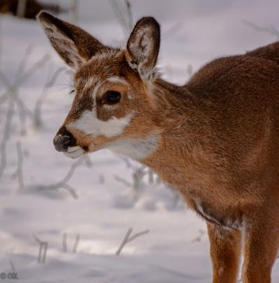 A young piebald deer