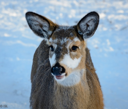Piebald deer, so named for the patches of color