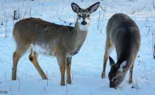 Just two of the 15 or so deer I encountered on the trail