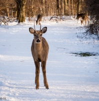 A young buck challenged me on the trail, but ran when I steps forward.