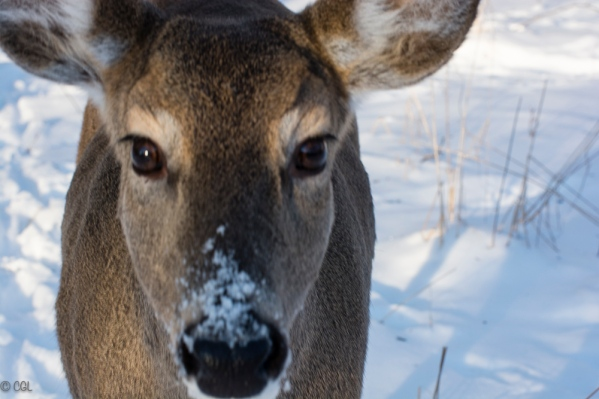 A friendly doe