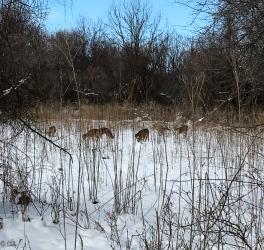 Deer browsing for food.
