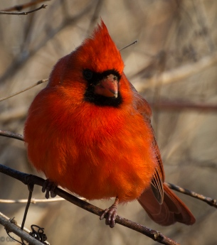 Red coated cardinal