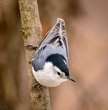 Another nuthatch