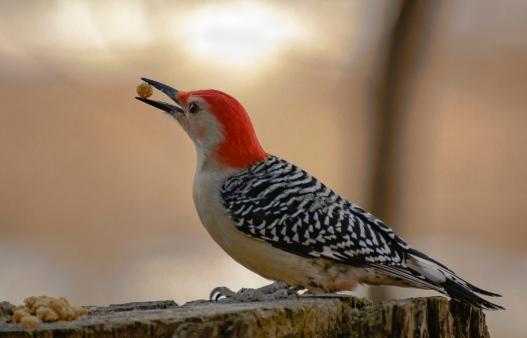 Red-Bellied woodpecker in profile