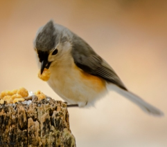 Hungry titmouse