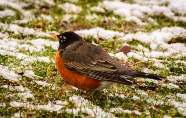 Robins aren't discouraged by snow.