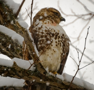 Hawk was hunting, despite the poor visibility.