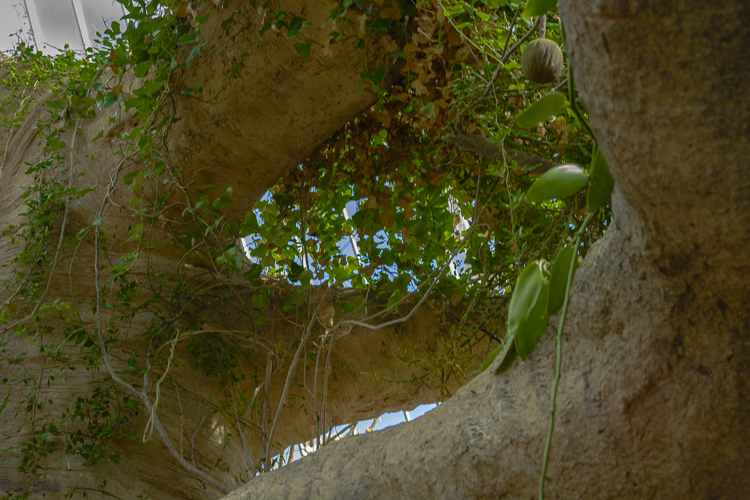 Another view of the Baobab tree