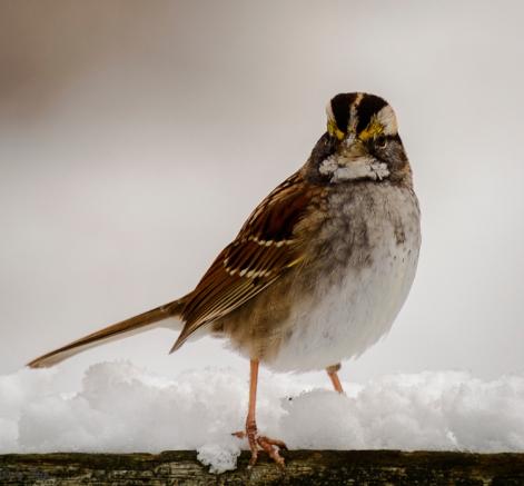 Sparrow again