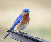 bluebird of happiness!
