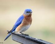 bluebird of happiness!