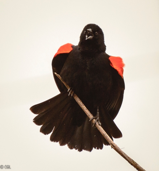 Redwing blackbird in breeding plumage