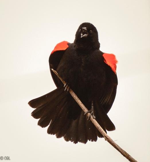 Redwing blackbird in breeding plumage
