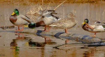 Mallards sitting in the sun: winter