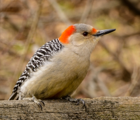 Red-bellied woodpecker: winter
