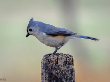 Tufted titmouse: winter