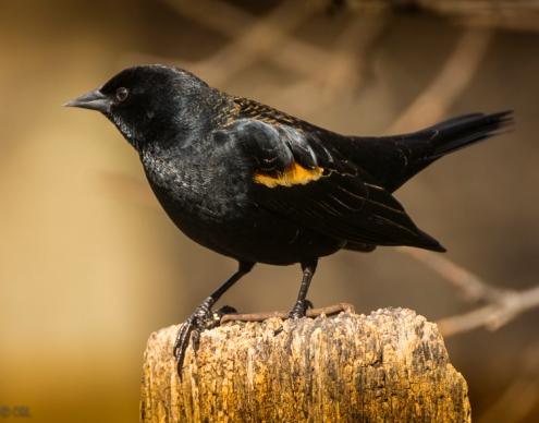 Redwings blackbird