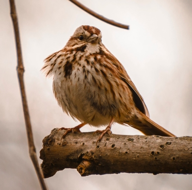 Windblown sparrow