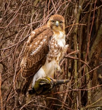 Redtailed hawk