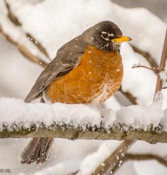 Poor robin