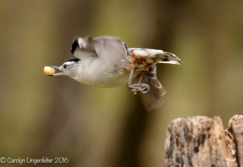 Another tufted titmouse