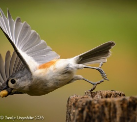 A tufted titmouse that almost got away.