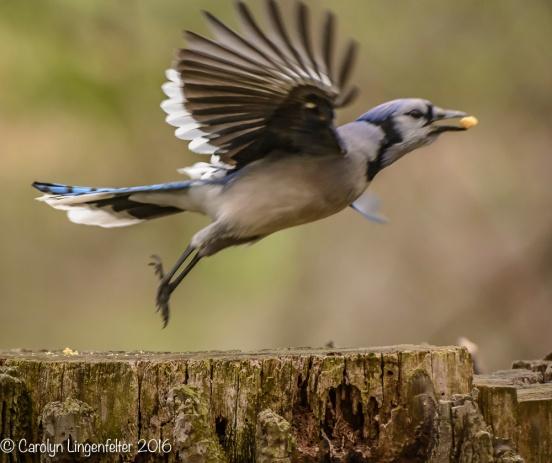 Blue jay taking off