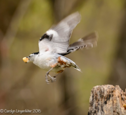 Titmouse taking off