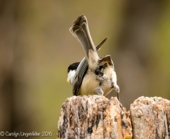 Rear view of a black-capped chickadee