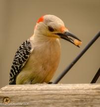 Female redbellied woodpecker