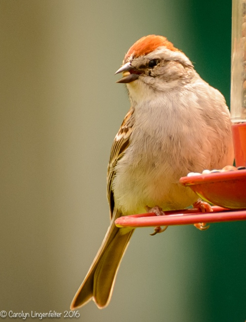 Chipping sparrow (possibly)