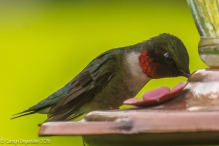 Male ruby throated hummer