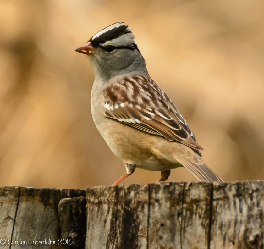 2016_05_20_backyard birding_Kitchen window blips_0146
