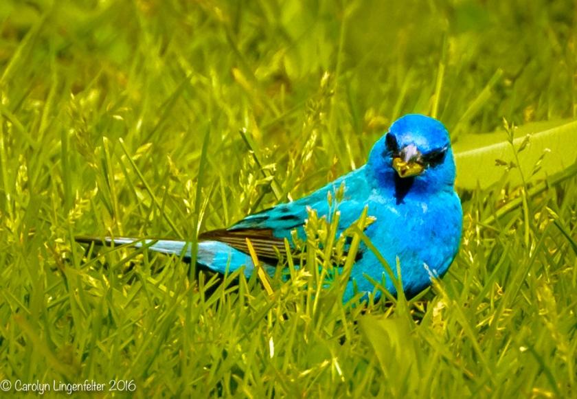 2016_05_20_backyard birding_Kitchen window blips_0204