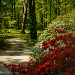 Winding through the rhododendrons.