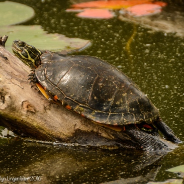 This may be a painted turtle,