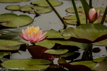 Waterlily one