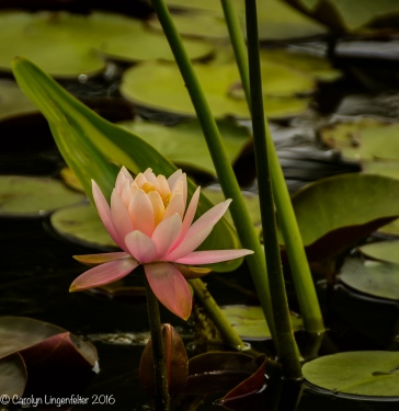 Waterlily two
