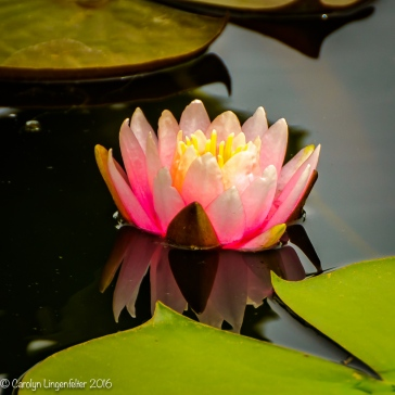 Waterlily three