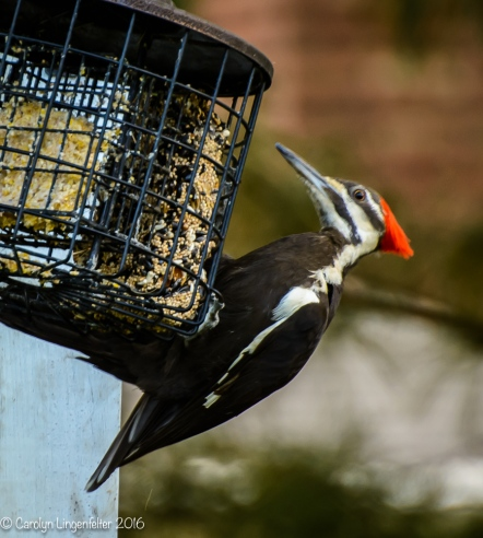 2016_06_15_backyard birding_back yard buffet_0070